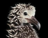 laysan_albatross_chick