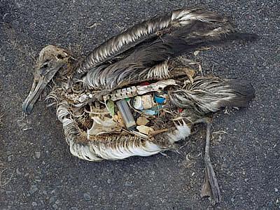 albatross eats plastic