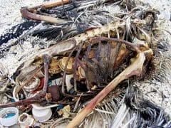 dead albatross full of plastic