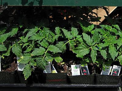 plastic tomato plant pots