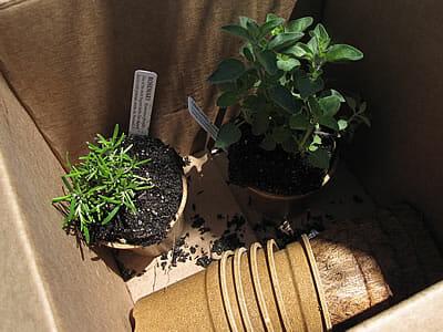 herbs transferred to Ecoforms pots