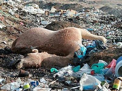 Camels die from ingesting plastic